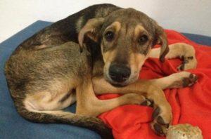 Характерные симптомы парагриппа у собак и способы лечения. Парагрипп собак: симптомы, возбудители и лечение Парагрипп у собак симптомы и лечение