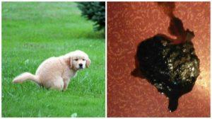 У собаки понос черного цвета что делать. Понос (диарея) у собаки: причины, что делать. Диета и лечение в домашних условиях