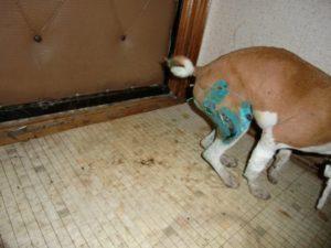 Почему собака не может сходить в туалет по-большому? Запор у собаки: частые причины и лечение