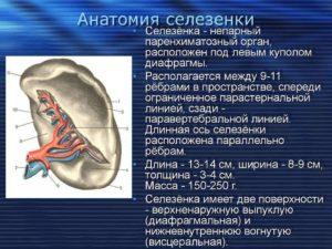 Важность селезенки: последствия удаления для человека. Может ли человек жить без селезенки, костного мозга, поджелудочной, щитовидной железы и других органов