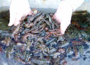 Сколько живут раки в аквариуме на продажу. А теперь, давайте посчитаем рентабельность и окупаемость разведения раков. Плюсы и минусы разведения раков в домашних условиях