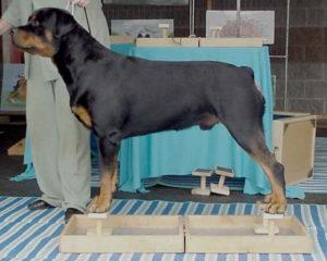 Ринговая подготовка собак. Выставочная стойка собаки Выставочная стойка собаки как научить