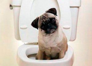 Можно ли приучить мопса ходить в туалет (в квартире) в одно и то же место? Мопс воспитание щенка как приучить к туалету Можно ли мопса приучить к пеленке