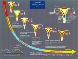 Что происходит с шейкой матки в разные дни цикла. Шейка матки в разные фазы цикла и при беременности