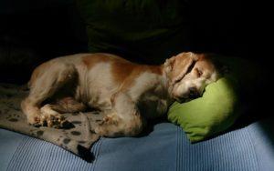 Собака стонет причины. Моя собака скулит – это хорошо или плохо? Почему собака скулит ночью