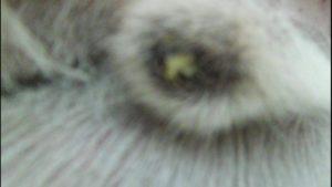 Почему у собаки капает с конца гной. Типы гнойных выделений из мочеиспускательного канала у собак