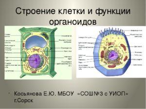 Строение и функции органоидов клетки. Органоиды –. Что такое органоид? Строение и функции органоидов. Органоиды растительной клетки. Органоиды животной клетки