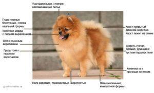 Померанский шпиц размеры взрослой собаки. Померанский шпиц: продолжительность жизни и особенности взросления. Антигельминтные лекарства для собак
