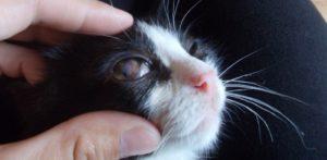 У кота красное внутреннее веко. Проблемы третьего века у кошки. Признаки и причины