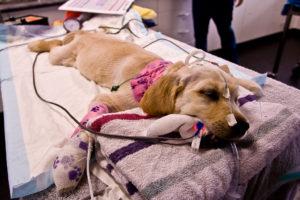 Могут ли собаки простудиться и кашлять. Простуда у собаки: симптомы и лечение. Основные симптомы простуды у собак