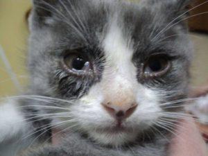 Гноятся глаза и чихает котёнок. Если кошка чихает и слезятся глаза, что делать