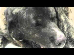 Лечение рака у собак. Способы лечения рака у собак Рак матки у собак симптомы