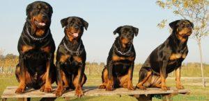 Ротвейлер для охраны частного дома. Оптимальные сторожевые собаки для частного дома: какую завести для охраны и безопасности? Распространенные ошибки хозяев
