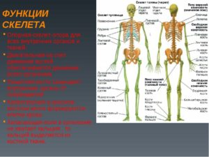 Сколько костей насчитывается в скелете человека. Скелет: сколько костей в теле человека