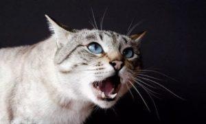 Что делать если котенок кричит. Почему котенок постоянно мяукает: причины такого поведения? Изменение гормональной среды как причина мяуканья