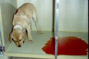 Собака срыгивает слюной. Собаку рвет желтой пеной: в чем причина? Симптомом каких заболеваний может быть рвота