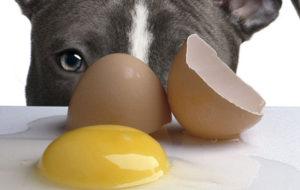 Можно ли кормить собаку сырыми яйцами. Можно ли давать собакам яйца? Собакам нельзя сырую рыбу