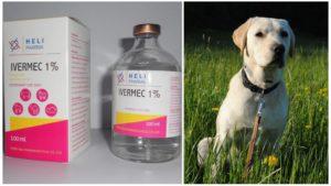 Ивермек для собак: инструкция по применению в ветеринарии, дозировка. Инструкция по применению ивермека для собак Ивермектин 1 инструкция по применению для собак