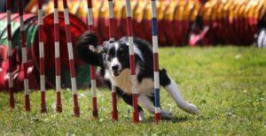 Дрессировка собак аджилити. Что такое аджилити для собак: правила, преимущества и особенности увлекательного вида спорта. Все снаряды делятся на две группы