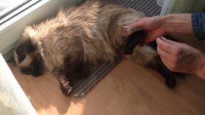 Задние лапы котов. Отнимаются задние лапы у кота: возможные причины, симптомы, диагностика, консультация ветеринара и лечение