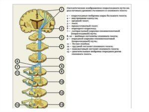Пирамидальный путь неврология. Пирамидный путь. Центральный и периферический нейрон. Симптомы поражения пирамидного пути на уровне ствола мозга