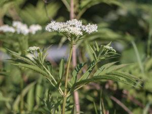 Бузина черная травянистая лечебные свойства рецепты. Также её называют. Рецепты лекарств из бузины травянистой