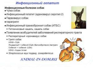 Гепатит у собак: признаки, симптомы и лечение. Вирусный гепатит у собак
