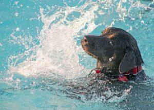 Как сделать чтобы собака хотела плавать долго. Все ли собаки умеют плавать? Как научить пса плаванию