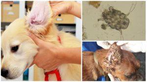 Подкожный клещ у мопса лечение. Чем опасны клещи у мопса. Может ли клещ заразить человека