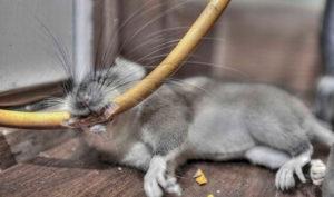 Почему кошка грызет провода что делать. Защита кабелей и проводов от грызунов, кошек и собак. Что делать, если кошка грызет провода