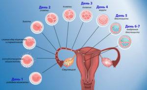 Зачатие происходит сразу после акта. Через сколько дней происходит оплодотворение после зачатия