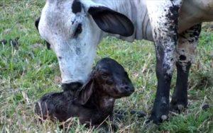 Коровья оспа. Чем опасна коровья оспа для человека? Симптомы, лечение и профилактика болезни