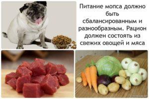 Чем можно кормить мопса в 2 месяца. Как и чем кормить мопса: что полезно, а что вредно? Режим кормления щенка