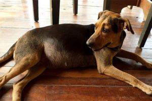 Вздутие живота у собак. Вздутие живота у собак: причины, симптомы и лечение У собаки раздуло живот причины