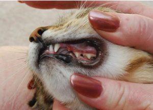 Что делать, если у кошки болят зубы? Что делать, если у кошки болят зубы Можно ли вылечить коту гнилые зубы