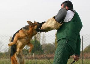 Дрессировка команды фас. Как научить собаку команде фас. Как происходит обучение собаки