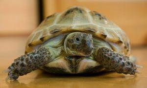 Почему некоторые люди держат дома черепах. Тортилла в доме: стоит ли заводить черепаху. Стоит ли заводить черепаху
