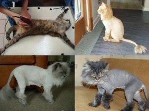 Как стричь кота. Можно ли стричь кошек? Советы ветеринара
