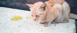 Рвота у кошек: виды, лечение и профилактика. Кошку рвет желтой жидкостью Почему кошка рыгает желтой жидкостью