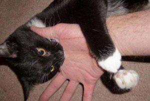 Укус домашнего кота что делать. Что делать если укусила бездомная или домашняя кошка. Срочное обращение к врачу