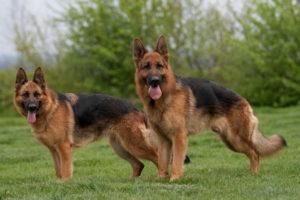 Сторожевые породы собак. Самые лучшие сторожевые и охранные породы собак. Чем различаются сторожевые собаки между собой: какие из них лучше? Породистые сторожевые собаки