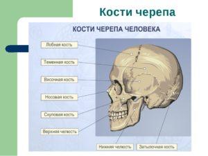 Кости черепа и их соединения. Череп: строение костей головы У человека кости крыши черепа относятся к