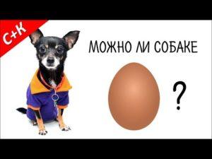 Можно ли давать собакам яйца? Можно ли собаке давать яйца, какие и в каком виде Вареные яйца щенкам