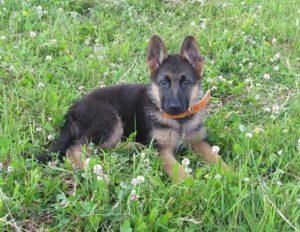 Во сколько начинают дрессировать щенка немецкой овчарки. Основные принципы дрессировки немецких овчарок