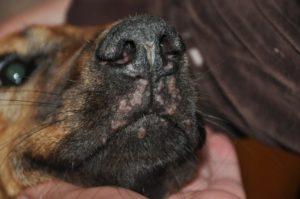 Системная красная волчанка немецких овчарок. Симптомы волчанки у собак и методы лечения. дополнительные методы исследования