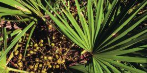 Препараты с экстрактом плодов пальмы сабаль. Карликовая пальма Сабаль. Использование в кулинарии