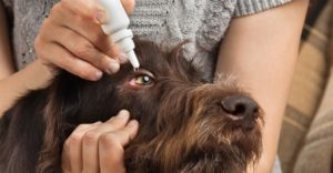 Как правильно капать капли от блох собаке? Как правильно закапать уши собаке Собака не дает капать глаза что делать