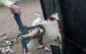 Может ли буренку беспокоить сломанный рог? Как помочь корове, если она сломала рог