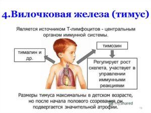 Какую роль выполняет вилочковая железа у взрослых? Увеличенная вилочковая железа у взрослых симптомы и лечение