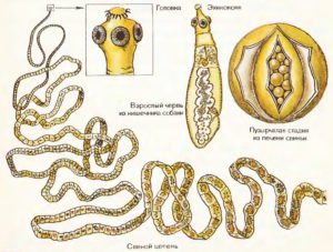 Тип Плоские черви. Класс Цепни. Заболевания, вызванные цепнями. Бычий цепень: все о черве, который живет у нас внутри